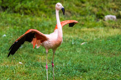 Flamingo with wings spread out Royalty Free Stock Photo
