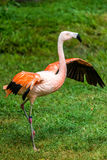 Flamingo with wings spread out Stock Photography