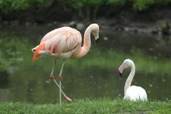 Flamingos. Flamingo wore next to the water in search of food. summer, green grass, feathers, foraging through the beak is placed underwater, flying in large Royalty Free Stock Photo