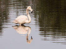 Flamingo. Young flamingo in Olbia`s gulf Royalty Free Stock Images