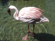 flamingo zagubiony Zdjęcia Stock
