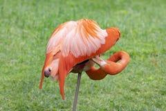 Flamingo, zich bevindt op één been, gooming veren, phoenicopterus royalty-vrije stock foto