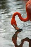 flamingo znaleźć odzwierciedlenie wody Obraz Stock