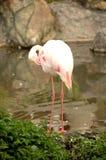 Flamingo am Zoo Stockbild