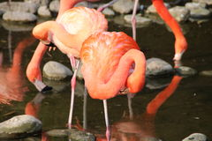 A flamingo. In a zoo Stock Image