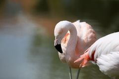 Flamingo. At zoo Royalty Free Stock Image