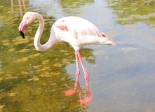 Flamingo. In zoo Royalty Free Stock Photo