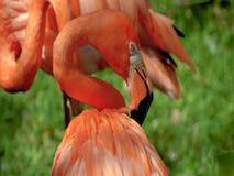 Flamingo in zoo . Beautiful royalty free stock photography
