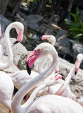Flamingo in zoo Stock Photography