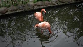Flamingo am Zoo in der Ansicht 4k stock footage