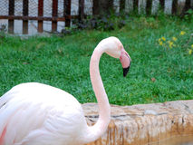 Flamingo in zoo. A pink flamingo in zoo locate in Anshan, China Stock Photos