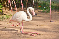 Flamingo in a zoo Stock Images