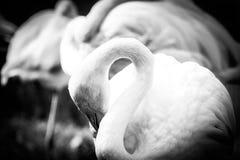 Flamingo in zwart-wit stock afbeelding
