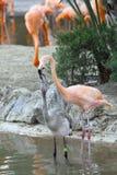 Flamingo zwei Lizenzfreies Stockbild