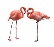 Flamingo zwei Lizenzfreie Stockfotos