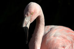 Flamingo1 Stockfotografie