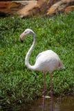 Flamingoanseende i sjön, sommarskott arkivfoton