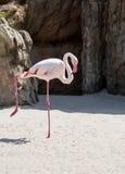 Flamingoanseende på ett ben Arkivbilder