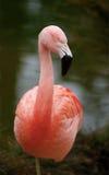 flamingoben ett som vilar Fotografering för Bildbyråer