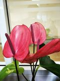 Flamingoblomma Royaltyfri Foto