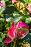Flamingoblomma eller pojkeblomma i trädgård Arkivfoto