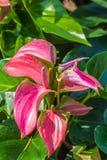 Flamingoblomma eller pojkeblomma i trädgård Royaltyfri Fotografi