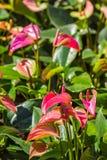 Flamingoblomma eller pojkeblomma i trädgård Arkivbild