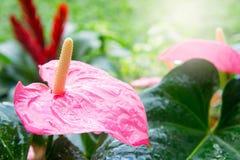 Flamingoblomma i trädgården med solljus i morgonen fotografering för bildbyråer