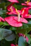 Flamingoblommor eller pojkeblommor Royaltyfria Bilder
