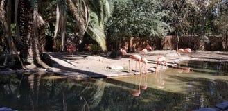 Flamingod hermoso imagen de archivo