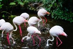 Flamingodricksvatten i dammet Fotografering för Bildbyråer