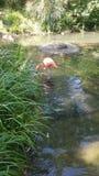 Flamingodykning för lunch Royaltyfri Bild