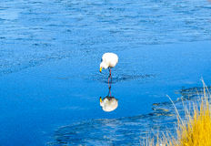 FlamingoEduardo Avaroa Andean Fauna National reserv, Bolivia Arkivfoto