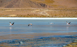 FlamingoEduardo Avaroa Andean Fauna National reserv, Bolivia Royaltyfri Bild