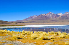 FlamingoEduardo Avaroa Andean Fauna National reserv, Boliviaa Arkivfoto