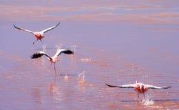 flamingoes πετώντας στοκ εικόνες