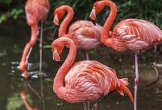 Flamingoes στο ζωολογικό κήπο του Σάο Πάολο, Βραζιλία Στοκ Εικόνες