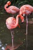 Flamingoes στο ζωολογικό κήπο του Σάο Πάολο, Βραζιλία Στοκ εικόνα με δικαίωμα ελεύθερης χρήσης