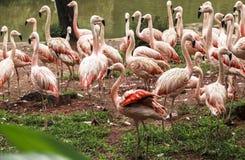 Flamingoes στο ζωολογικό κήπο του Σάο Πάολο, Βραζιλία Στοκ Εικόνα