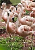 Flamingoes στο ζωολογικό κήπο του Σάο Πάολο, Βραζιλία Στοκ Φωτογραφίες