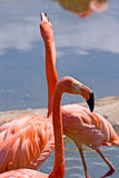 Flamingoes. Several flamingoes feeding on a sandy pond stock photos
