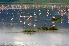 Flamingoes Stock Image