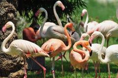 flamingoes Royaltyfri Fotografi