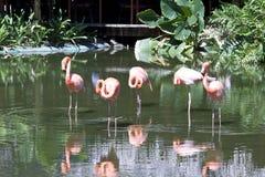 flamingoes Royaltyfri Foto