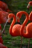 Flamingoes Royalty-vrije Stock Foto