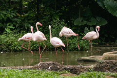 Flamingoes. A group of five flamingoes in the pond Stock Photo