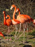 Flamingoes Stock Foto's