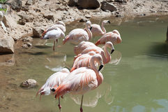 Ρόδινο Flamingoes Στοκ Φωτογραφία