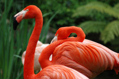 flamingoes Royaltyfri Bild