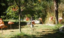 Ρόδινη αποικία flamingoes Στοκ Φωτογραφίες